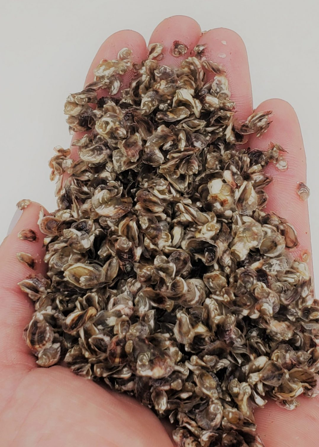small oyster seed (3)